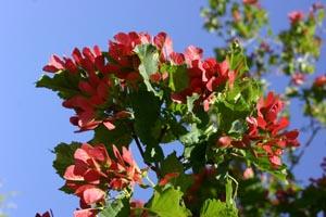 Plant Select acer tataricum 'garann' 2 pgh