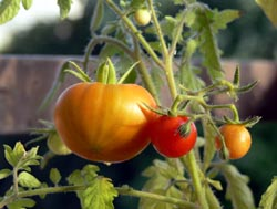 Ripening tomatoes in a garden