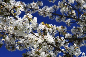 Flowring Cherry Tree